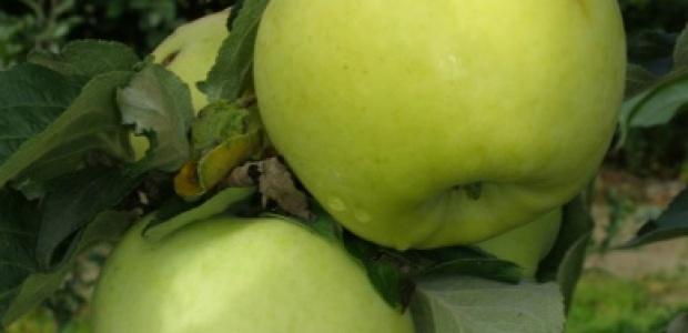 Antonówka - Jabłonie - drzewka owocowe